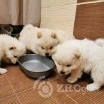 5-beautiful-chow-chow-puppies-6016d46899186-c3fcd95e