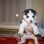 Copy of Copy of kc-registered-puppies-5ff4e86c8cbcd-6691f350