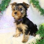 Copy of kc-champion-blood-yorkshire-terrier-5fca48f2bc724-222eedfe