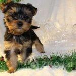 Copy of kc-champion-blood-yorkshire-terrier-5fca48f825d43-5849c0b7