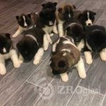 akita-puppies-60036414dcebb-ab085151