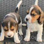 beautiful-beagles-5ffdeb4d9db8d-d21fe37a