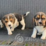 beautiful-beagles-5ffdeb4e86c45-47c01553