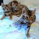 bengal_kitten2-___CH0c-TEAu-A___--b549cf8b