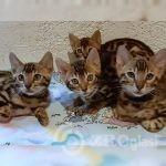 bengal_kitten2-___CH0dC32AJQQ___--c84ec1d7
