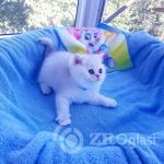 british_cats_tanyahouse-___CEDzubHKURq___--3738560b