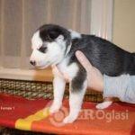 kc-registered-puppies-5ff4e86c0b5b9-e70b33f2