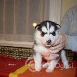 kc-registered-puppies-5ff4e86d9b6b0-6b7eca8a
