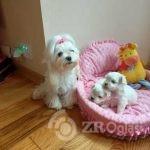 korean-maltese-kc-puppy-5fd4cb3ba621e-91125ff7