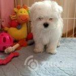 korean-maltese-kc-puppy-600af4a8ab4b6-de676c28
