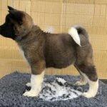 stunning-kc-reg-male-puppies-60183eb88bbc9-001fa3ef