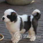 Copy (2) of st-bernard-puppies-for-sale-5e58372e4bba4-92a4491f
