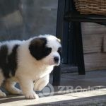 Copy of st-bernard-puppies-for-sale-5e58373aaef48-b0a6f624