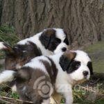 Copy of st-bernard-puppies-for-sale-5e5837a4e02a6-61c9067c