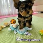 Copy of toy-yorkies-looking-for-loving-home-5e2ef882cb04f-703bcad6
