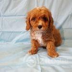 adorable-cavapoo-puppies-health-tested-5e383643b4824-2e79d4a9