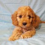 adorable-cavapoo-puppies-health-tested-5e383666ce8d2-4fd5a635
