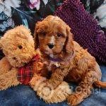 beautiful-deep-red-cavapoo-puppies-5fff0172d9441-d927c9c4