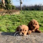 cavapoo-puppies-603e1055c5ad0-5da9581d