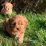 cavapoo-puppies-603e10567caf1-980300d5