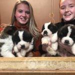 stunning-st-bernard-pups-for-sale-5e347f33af967-4dcef059