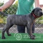 cane corso 01-d6b6795b