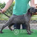 cane corso 04-e8ab6816