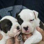 1American Staffordshire Terrier-5702edc0