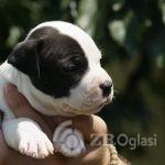 2American Staffordshire Terrier-88b57b72