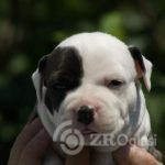 3American Staffordshire Terrier-5165ccbe