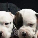 4American Staffordshire Terrier-d4d0cdda