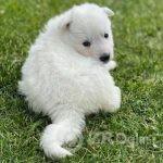 beli svajcarski ovcar 02-3e480288