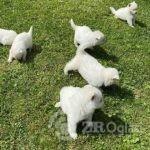 beli svajcarski ovcar 04-bdc1e114