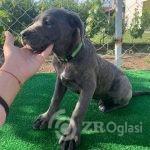 cane corso 03-13080abe