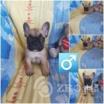 5French bulldog-7ad63480