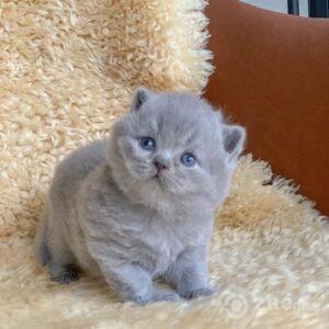 Prekrasne britanske kratkodlake mačiće dostupne sada na prodaju