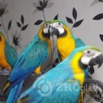 Copy (3) of blue-and-gold-macaw-5dc06e256f1e2-3ceb4ac0