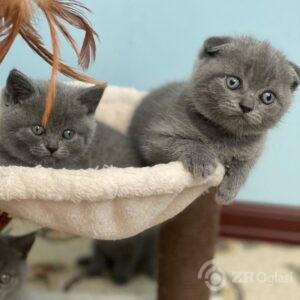 Prekrasne škotske mačiće na preklop Dostupne za dolazak