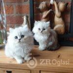 beautiful-chinchilla-persian-kittens-5e55d276bee1a-87746b39