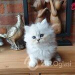 beautiful-chinchilla-persian-kittens-5e55d3614a6f5-c664ce0c