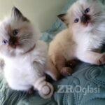 beautiful-fluffy-ragdoll-babies-x-5e5e9773020df-b28220e9
