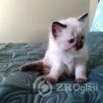 beautiful-fluffy-ragdoll-babies-x-5e5e97c5300d4-ee9e0e73