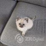 beautiful-ragdoll-kittens-5dd3eff629274-19bc8333
