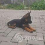 nemacki ovcar 01-c951e41e