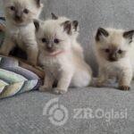 ragdoll-kittens-ready-to-reserve-5dc53536cb3b1-5df849ca