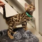 stunning-bengal-kittens-5e4edac7c240a-30bab0bb