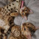 stunning-bengal-kittens-5e54cf5027c2a-f02a0b8e