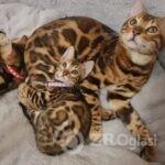 stunning-bengal-kittens-5e55afc30c73b-eed086e5