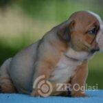 1English Bulldog-69e4fd2b