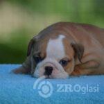 3English Bulldog-6a48d4b5
